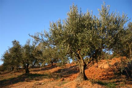 rallis-icepressed-raw-olive-oil-orchard.jpg